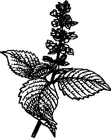 えごまのイラスト